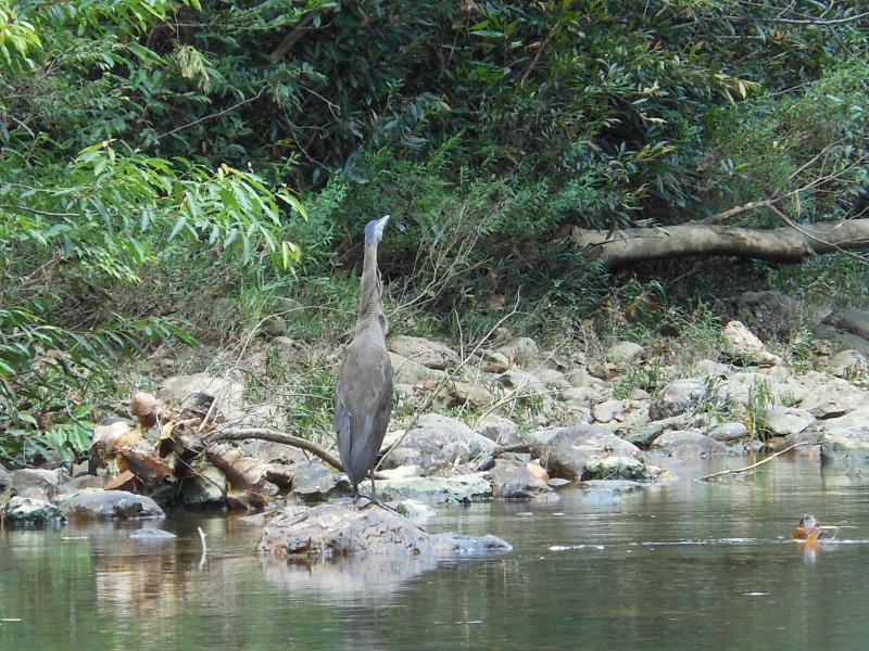 Tiger Heron on river front