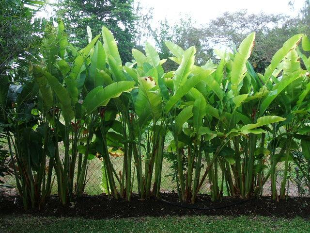 Backyard side garden:  Huge heliconias which offer privacy.