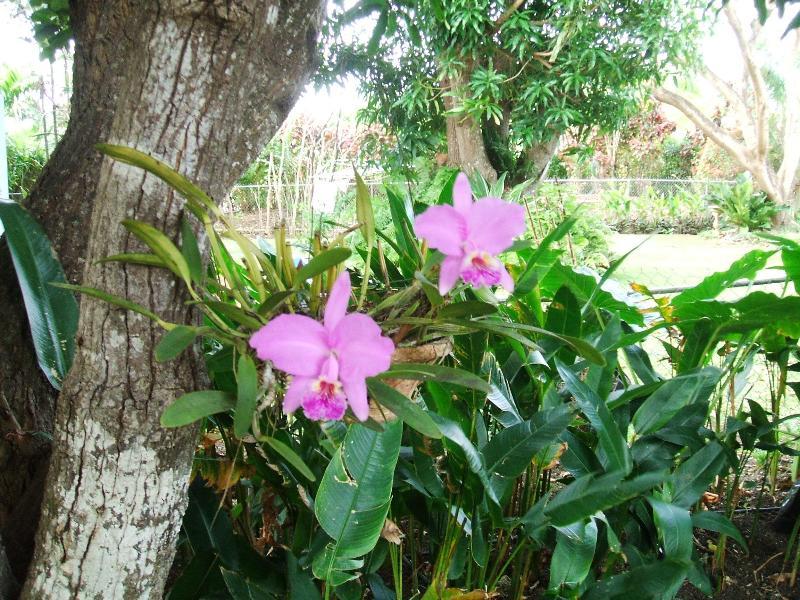 orchids in mango trees in backyard