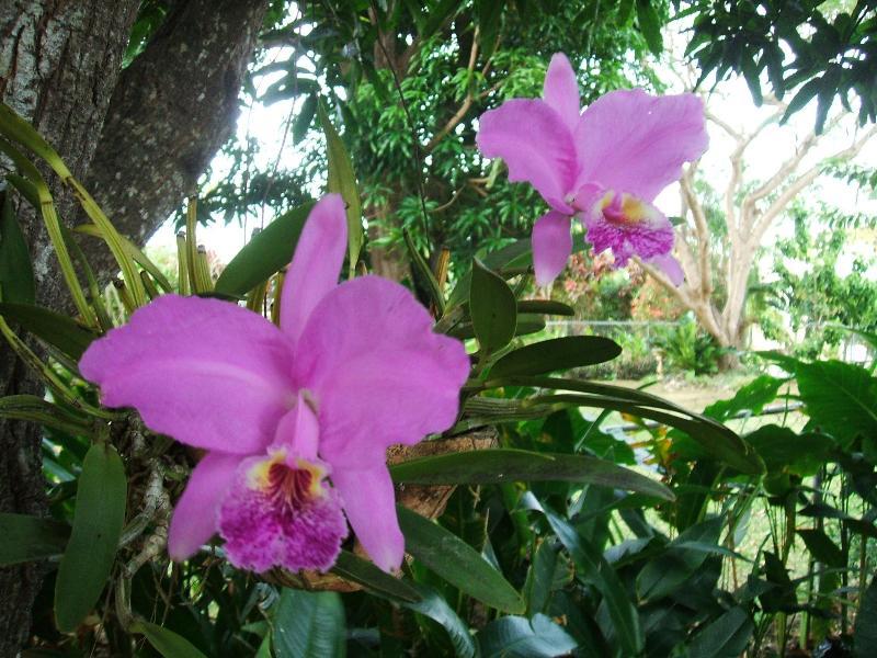 orchids in mango trees in backyard 2