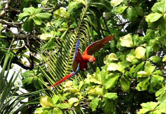 You WILL see scarlet macaws during your stay at this home