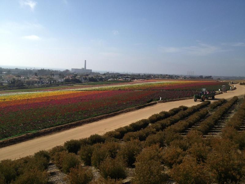Carlsbad's famous flower fields