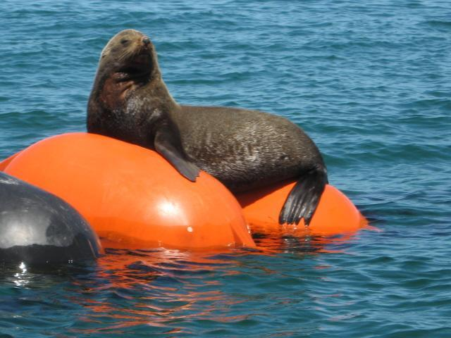 seals browsing on buoy in Bay