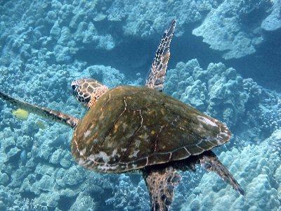 Turtle Flying in Ocean Near Kahalu'u Beach Park