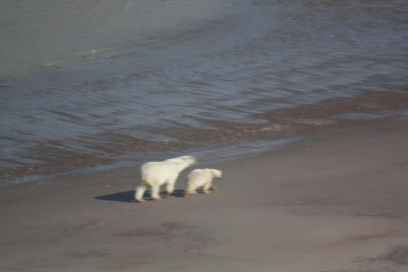 Female Polar Bear & Cub on Hudson Bay