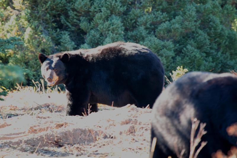Black Bears near the Lodge