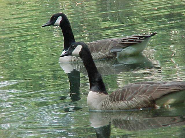 Gänse auf The Lake, morgen Flybys gelegentlich
