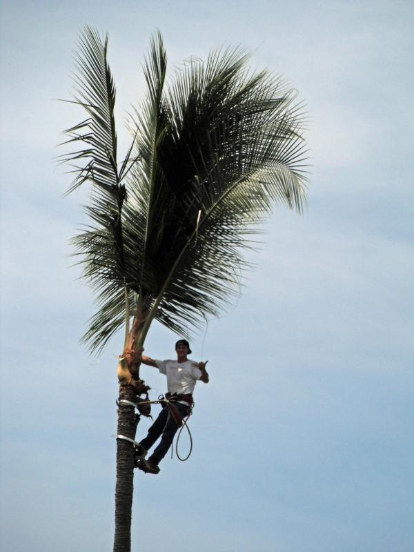 Aloha from the Palm Tree Trimmer