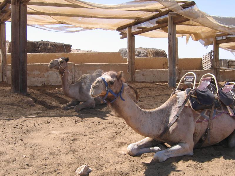 Camel tours with or without Bedouin guide