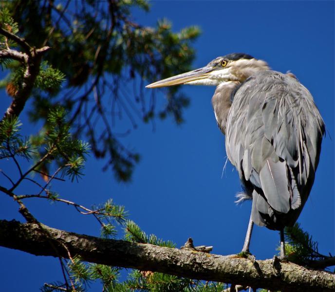 Bill il nostro residente Great Blue Heron