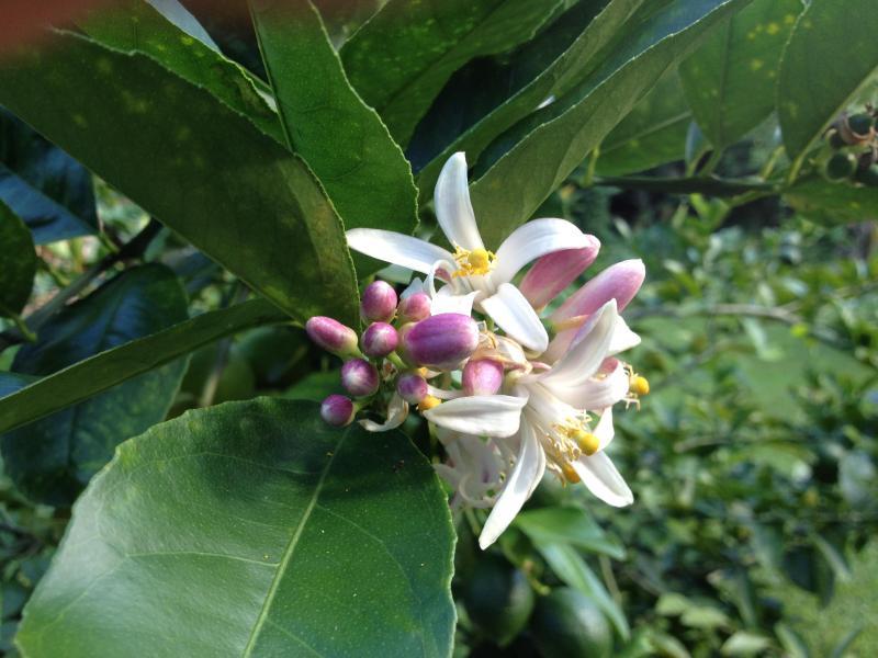 Liz Lemon Blooms - Delicious Fragrance