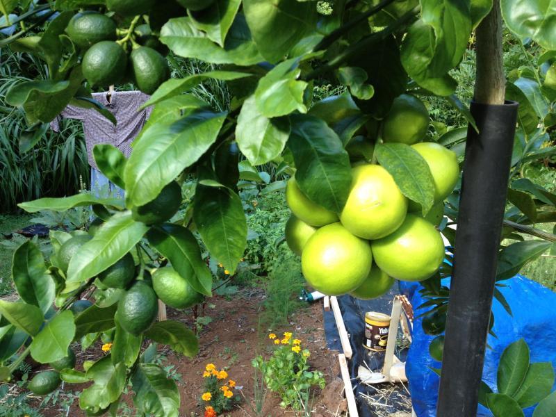 Liz Lemon Tree in the Backyard