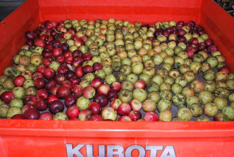 Apple harvest time