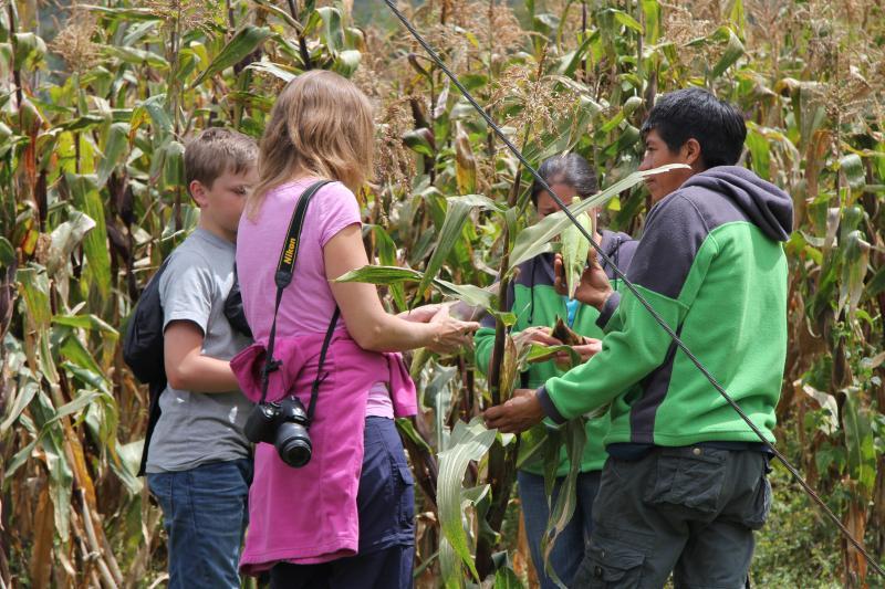 Picking corn to make humitas...