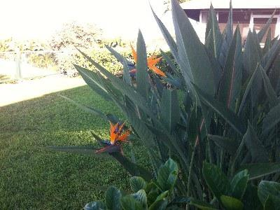 Bird of paradise by the back lanai.