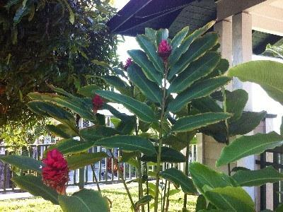 Beautiful tropical plants by the front lanai and entrance to the house.