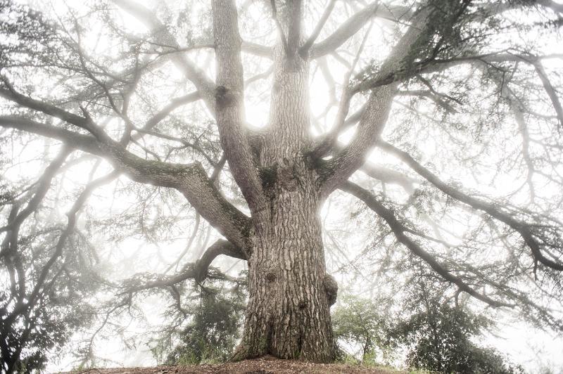 +500 years old cedar tree