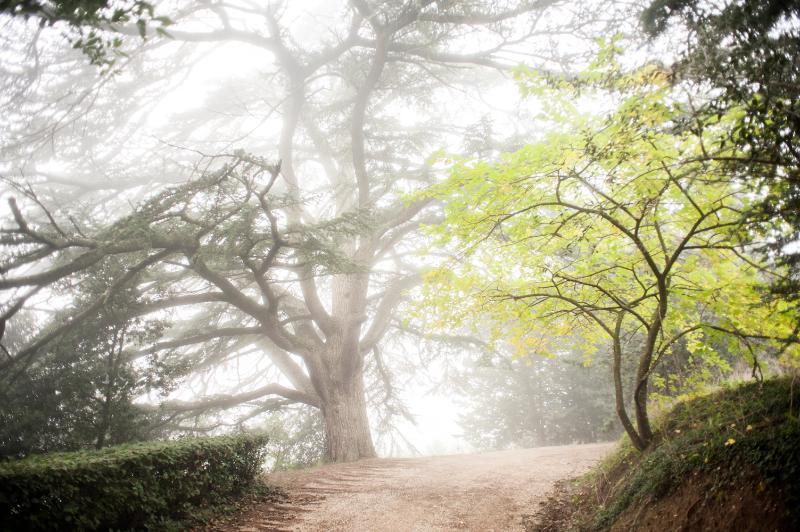 The 500 years old cedar in winter