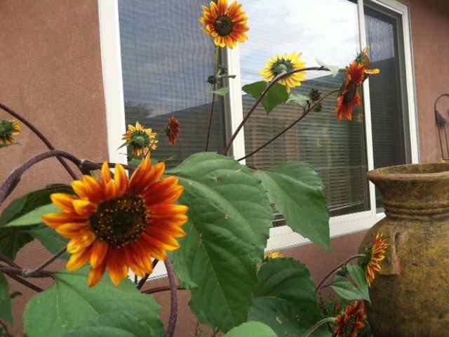 Sunflowers grow wild...