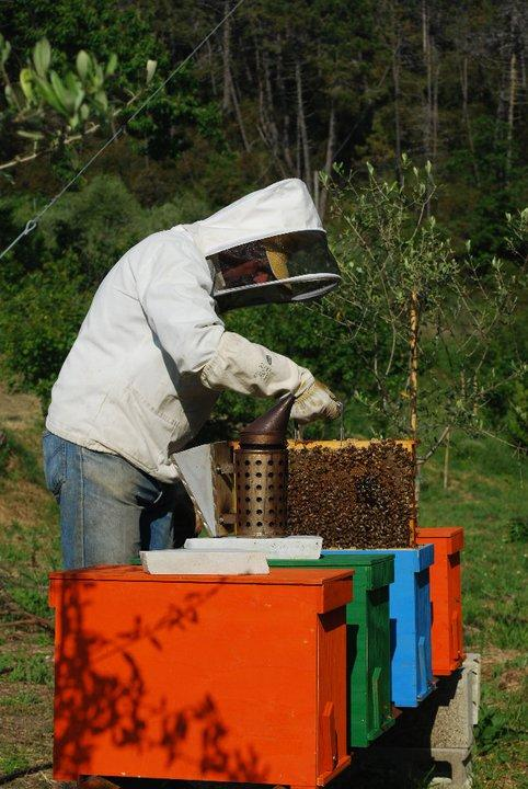 Guido working with the bees to produce our special ligurian honey