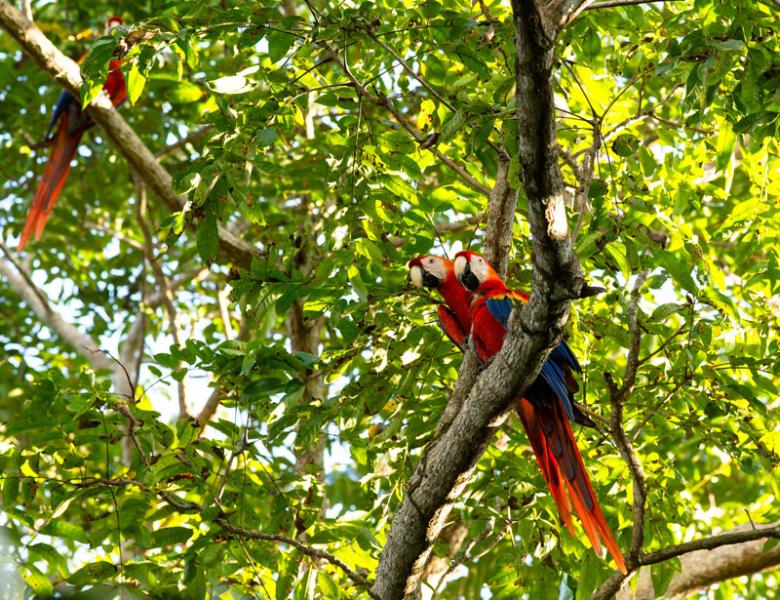 Scarlet macaws, nesting and singing above the Casita.