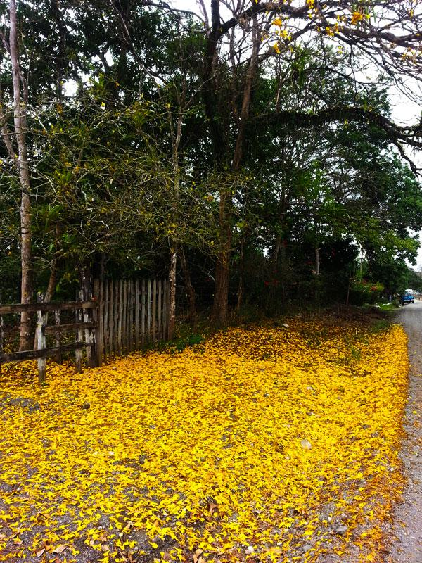 Cortesia tree dropping its carpet of leaves.