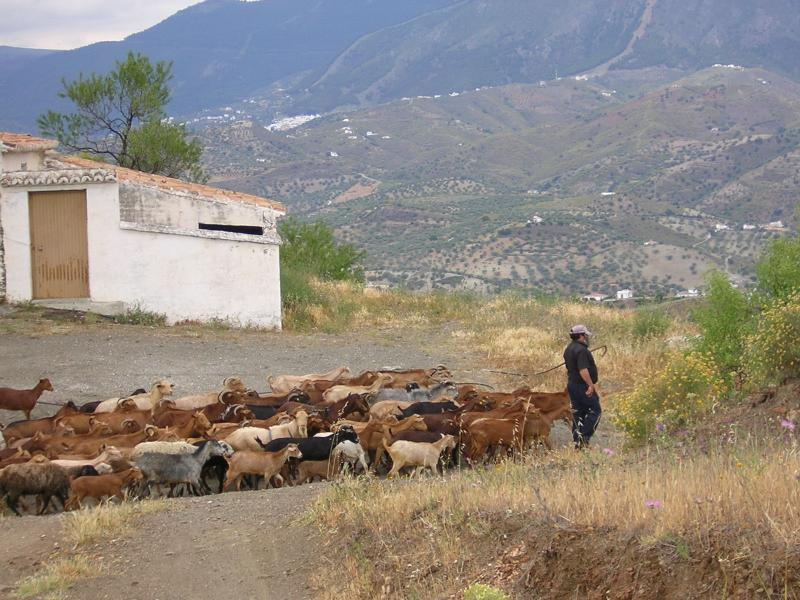 The Goat man and his herd