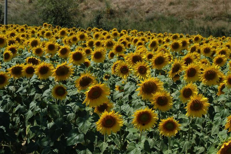 Sonnenblumenfeldern rund um das Anwesen