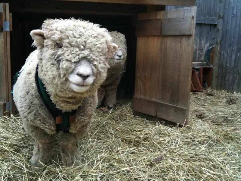 Emery, uno de nuestra raza original dulce dos ovejas Olde English Southdown.