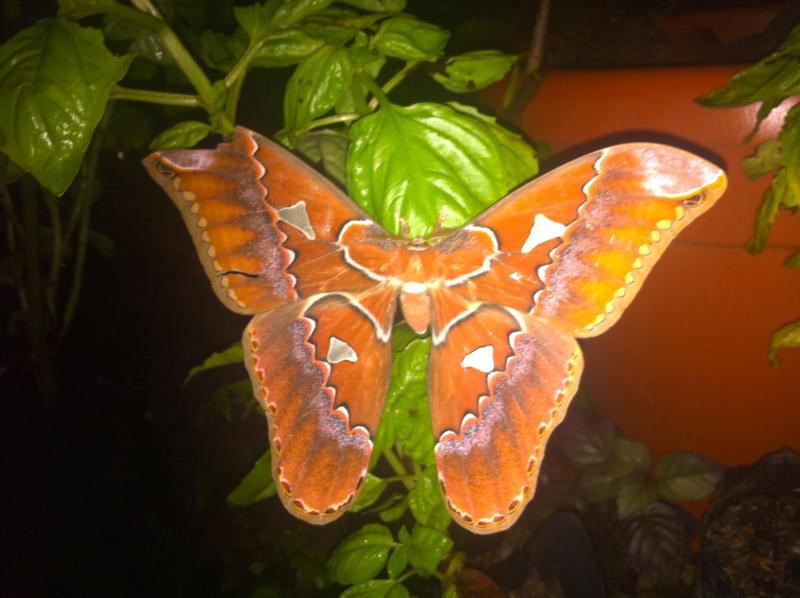 Pura Vida Butterfly