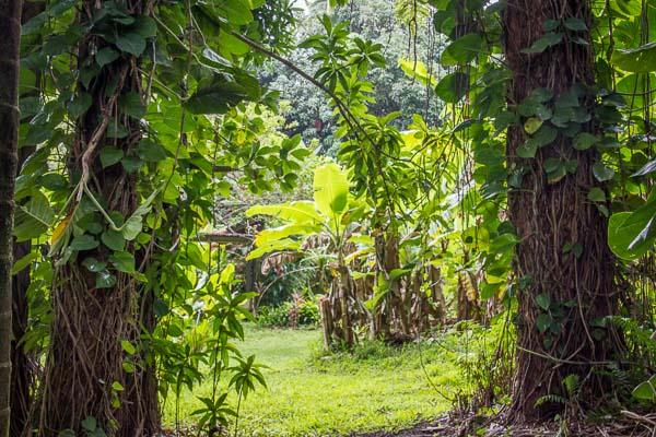 The hidden pathway to the Banana Patch Cottage, a 12x12 'gem' in the rainforest.