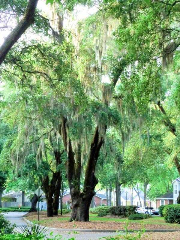Beautiful, large oaks draped in Spanish moss greet you on Lake Frances Dr.