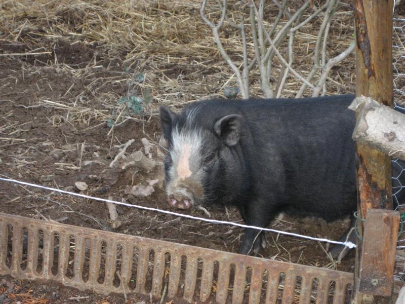 Bob, le petit cochon noir
