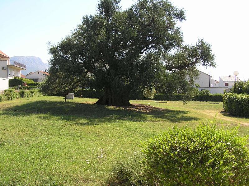 Nabijgelegen oude Olive Tree (1100 jaar oud)