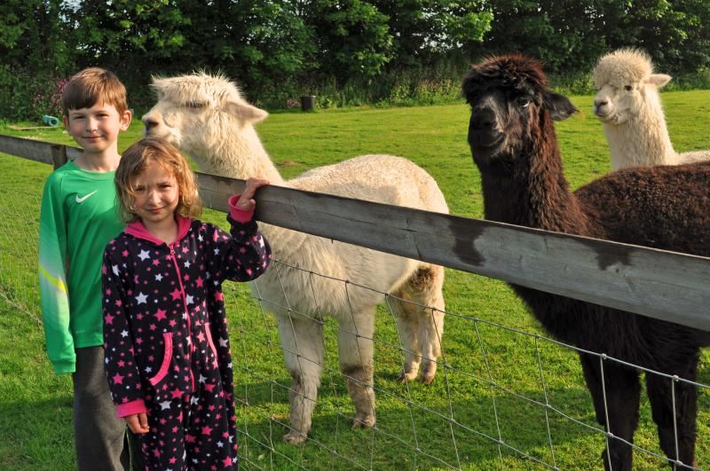 The alpacas in our field are as Interested in our guests...as they are in the alpacas