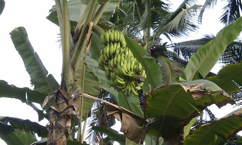 Onze bananenplantage
