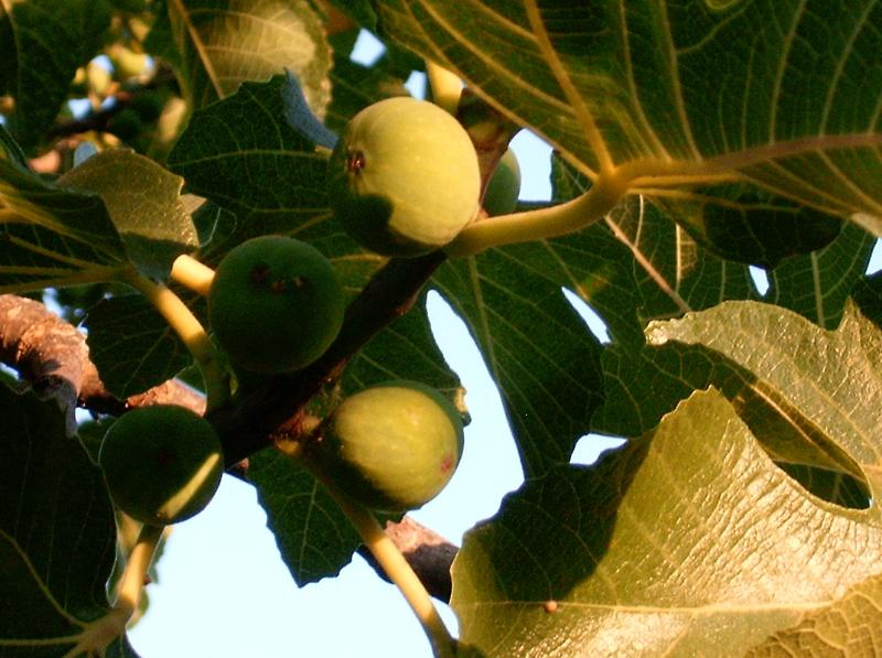 Fig Garden...