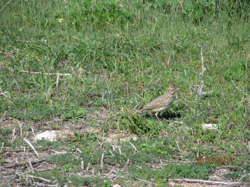 Skylark one of many migratory birds seen on archaeological site adjacent to apartment