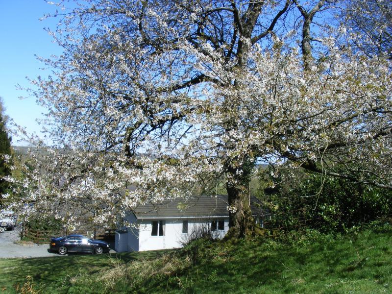 cherry tree in the garden of Llys Cadfan