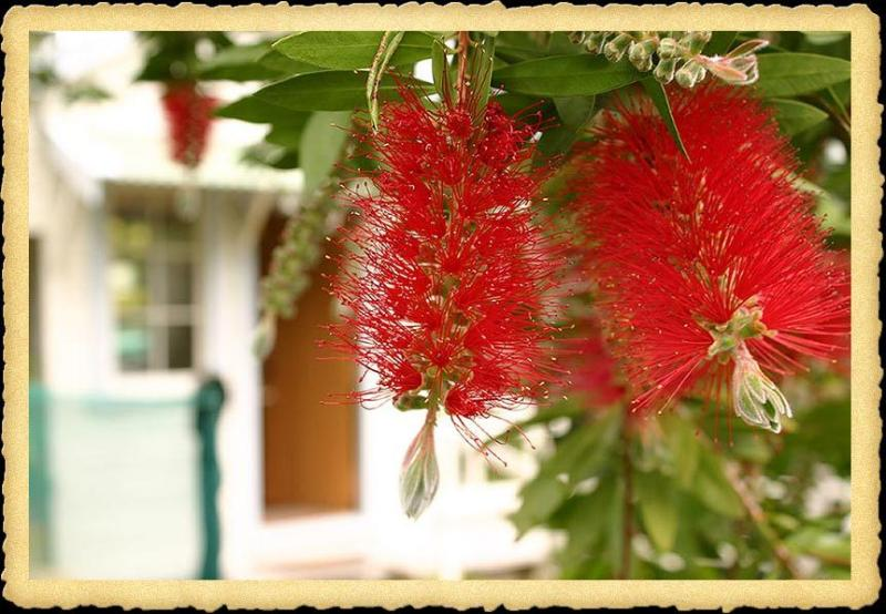 The bottlebrush tree in front of the cottage, flowers in November