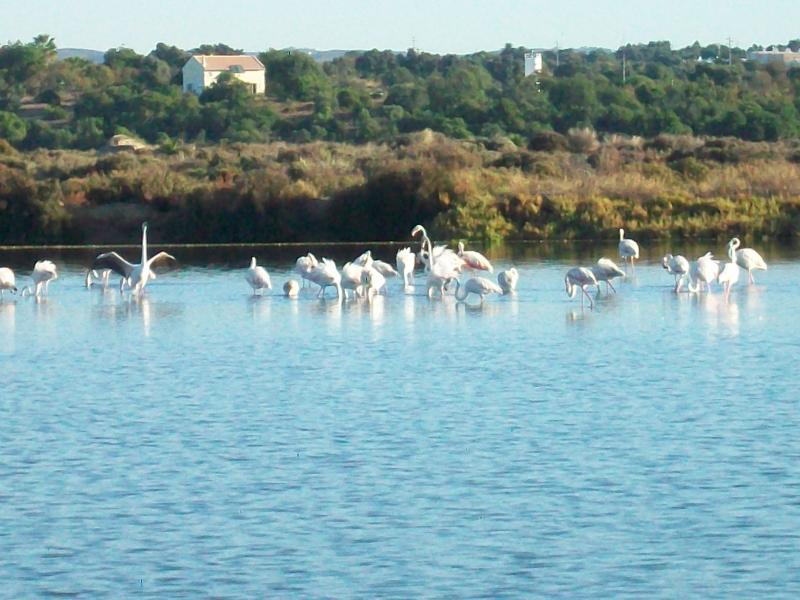 Flamingos before migrating