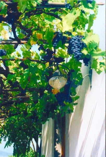 Arbor uva