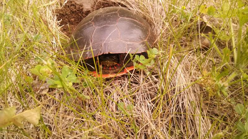 Mother turtle spotted on property in early June '14