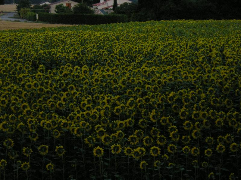 Village sunflower fields in bloom