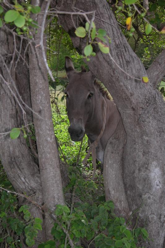 Adorable Antiguan Donkey - look hard