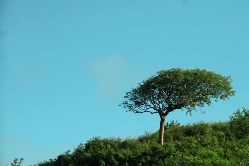 Neem Tree behind Ffryes Villa