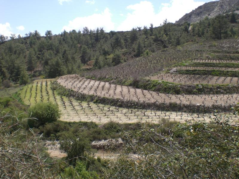 Vineyards Scenes Like This May be Found All Over The Island