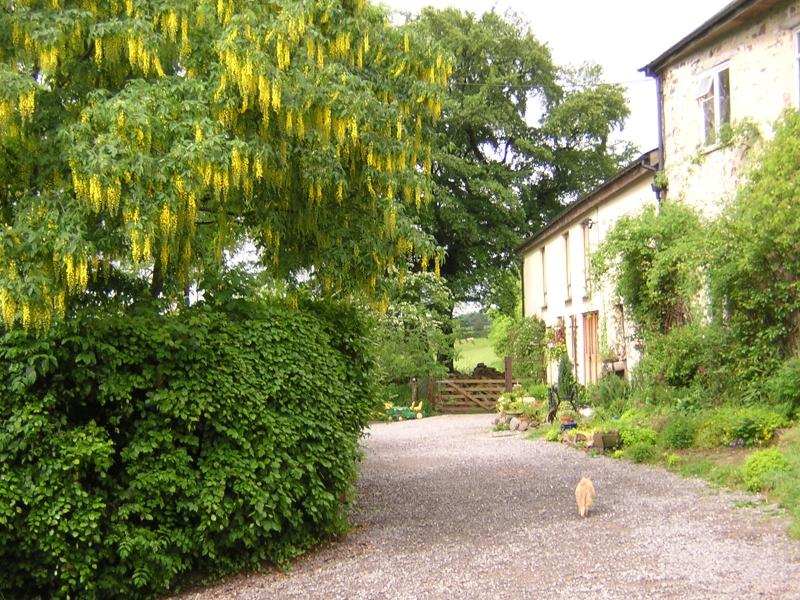 Anstey Mills Cottages in Spring/Summer with Laburnum tree in full flower (and cat?)