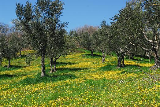 The olive grove in the spring