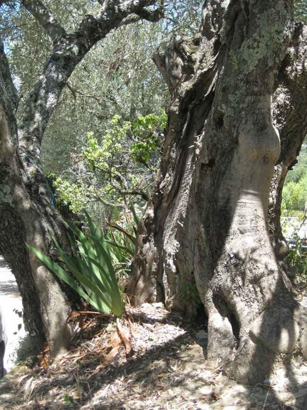 Uno de los olivos centenarios...